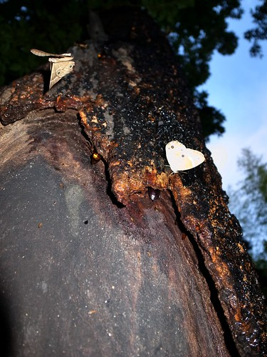 樹液 2012.06.19