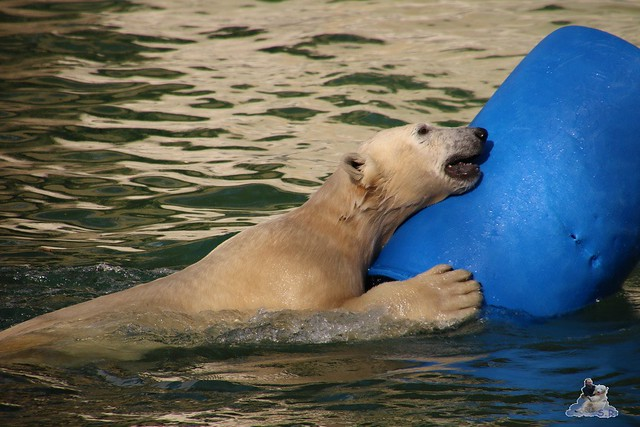 Eisbär Fiete im Zoo Rostock 20.03.2016  073