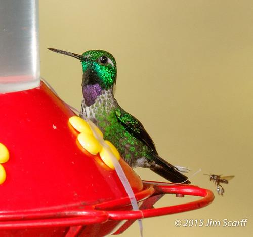 male ecuador hummingbirds southamericanbirds purplebibbedwhitetip ecuadorianbirds urostictebanjamini