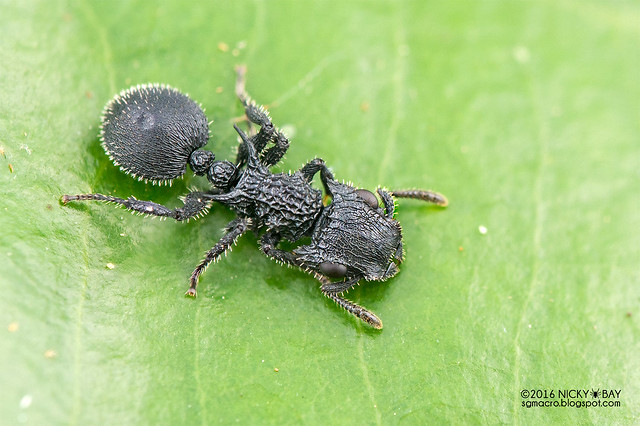 Armored ant (Cataulacus sp.) - DSC_7444