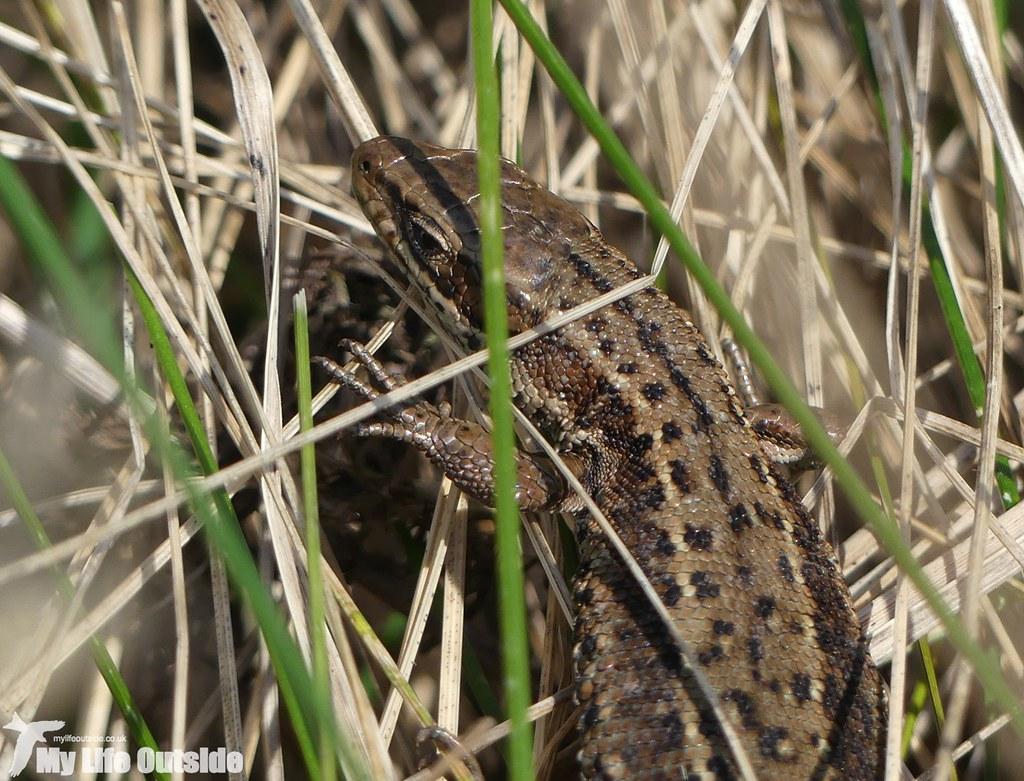 P1000410 - Lizard, Manorbier