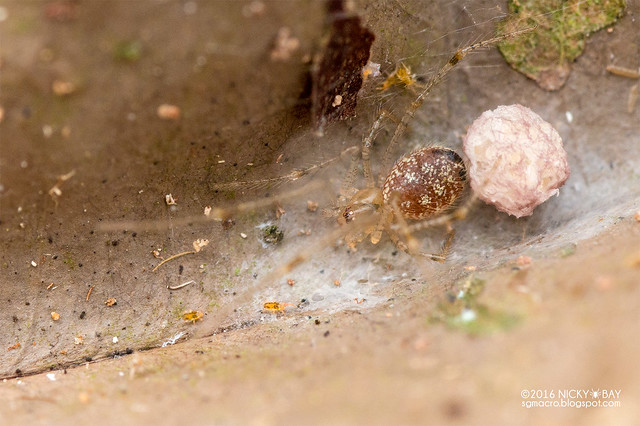 Comb-footed spider (Theridiidae) - DSC_6856