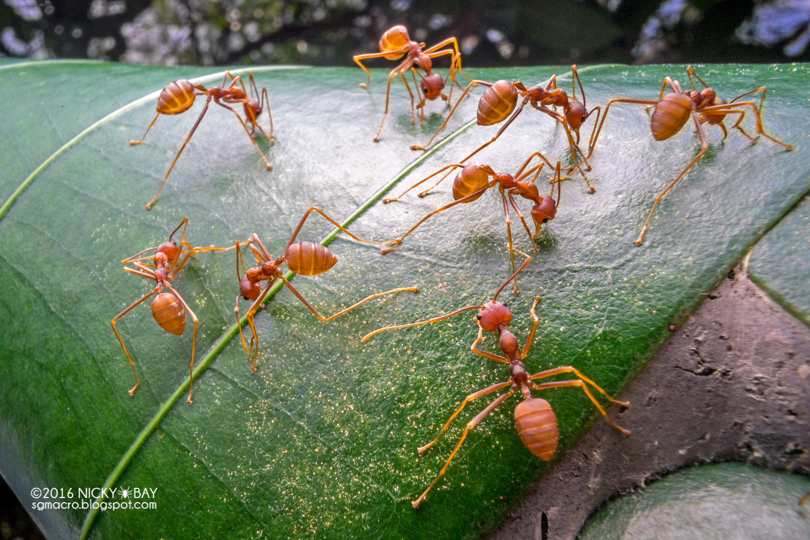Red weaver ants (Oecophylla sp.) - DSC03850