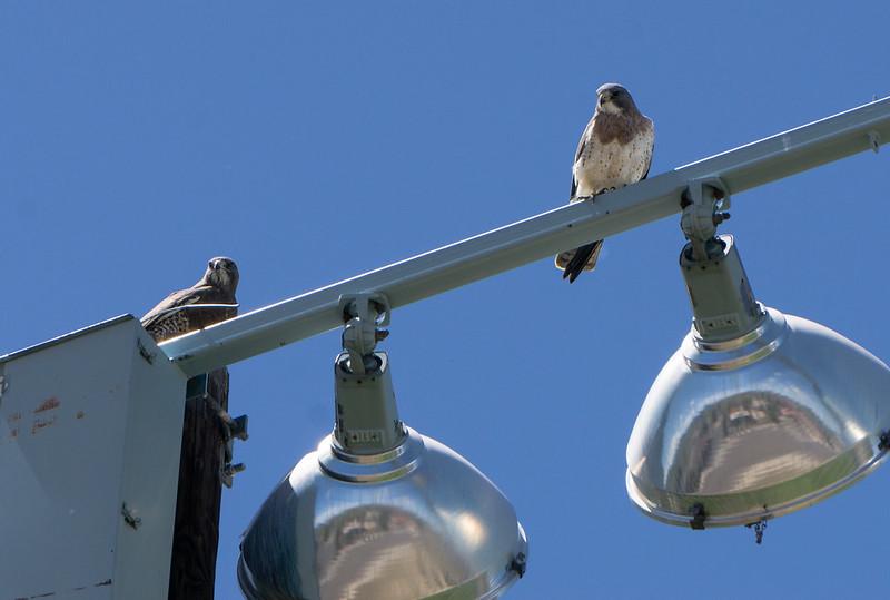 Swainson's Hawk Pair