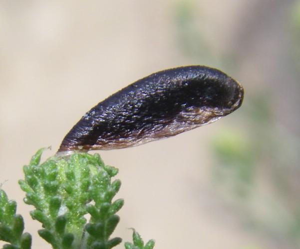 Coleophora involucrella 26635976982_23a63c3bf6_o