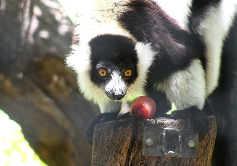 Lemur Lunch