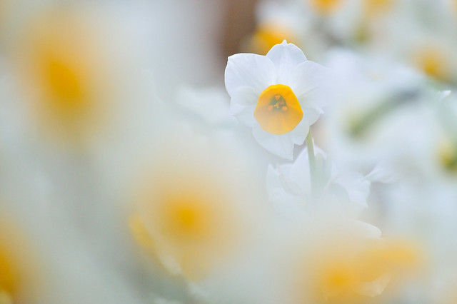 スイセン Narcissuses (3)