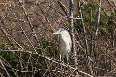 IMG_2130.jpg Black-crowned Night-heron, Watsonville Slough