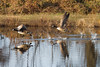 Canada Geese 2-6-2016-16
