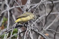Yellow- rumped Thornbill