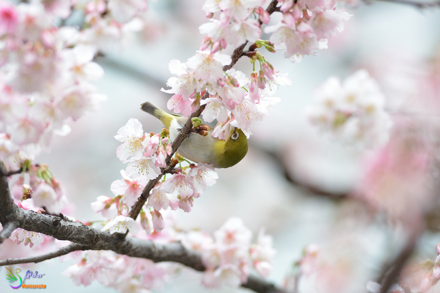 Sakura_White-eye_6725