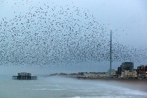 Brighton Pier - Murmuration of starlings