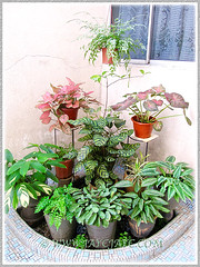 Mostly foliage plants at our courtyard, including Ctenanthe burle-marxii 'Amagris', Oct 27 2014