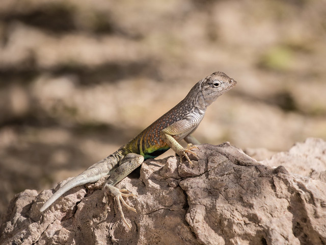Earless lizard