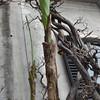 Banano. #CMGiardinaggio #CMViaggi E su CMViaggi su Facebook e Twitter foto con il lago. Le pubblico anche su Flickr e su Tumblr? Ma torniamo alla foto. Banani sul lago di Como?! Sí. A Villa Monastero. #Banani #Banano #Giardinaggio #Europa #Italia #Lombard
