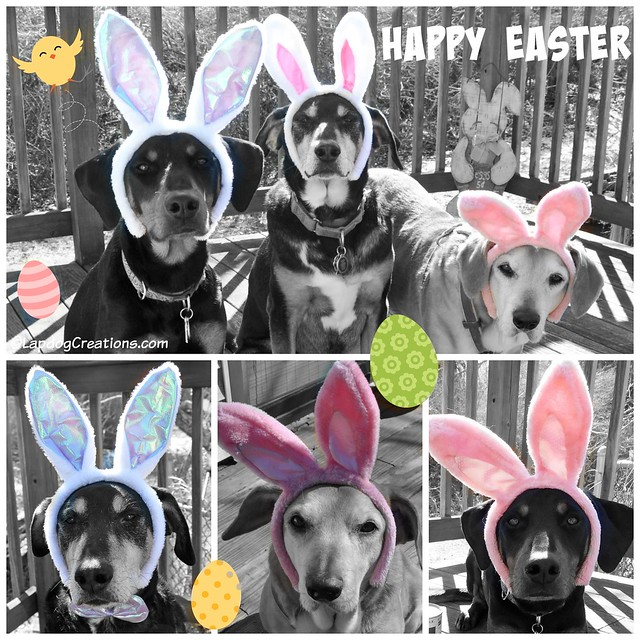 Happy Easter from the Lapdogs! #Easter #Easter2016 #BlackAndWhiteSunday #dogsinbunnyears #EasterDogs #LapdogCreations ©LapdogCreations
