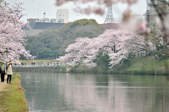 桜並木_舞鶴公園