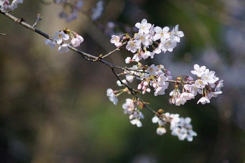 桜 × Sonnar 180mm F2.8