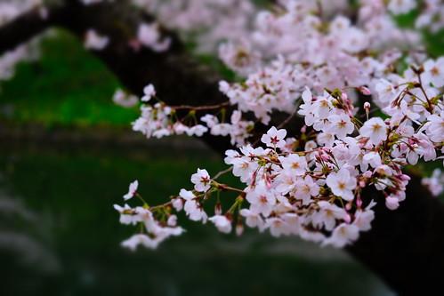 miniature Sakura viewing at Chidorigafuchi moat 05