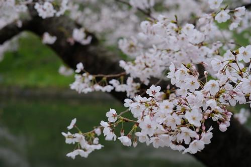 Soft/ASTIA Sakura viewing at Chidorigafuchi moat 03