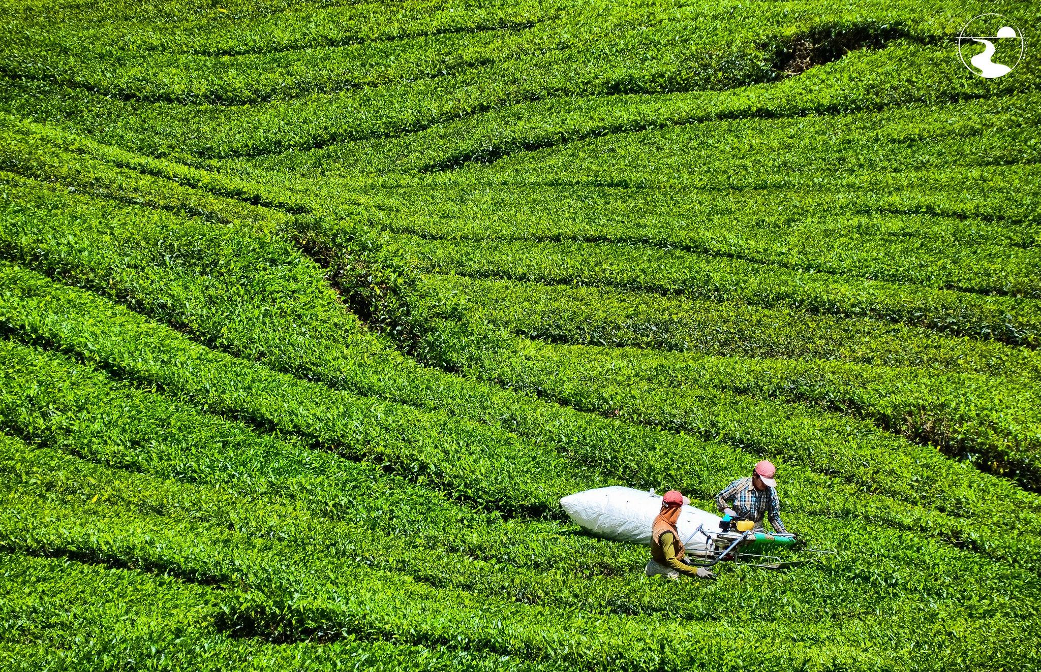 Recogiendo té a saco