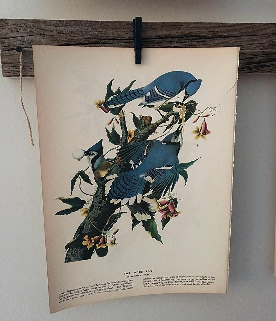 Vintage Blue Jay Print