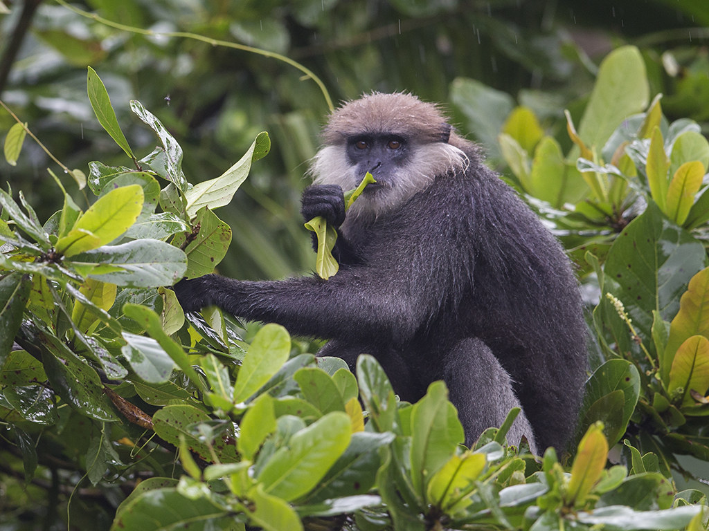 Purple-faced Langur 2