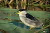 Black-crowned Night-Heron by Chasing Photons