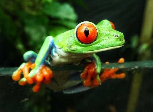 red green animal costarica frog centralamerica