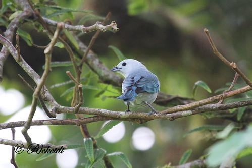 ngc thraupisepiscopus bluegreytanager tangaraévêque birdofcostarica