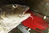 Bloody Cod