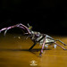 Chiasognathus grantii (I) by Prof. Mozz