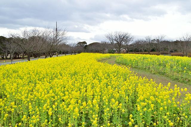ナノハナ Rape blossoms