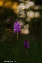 wild orchid #2