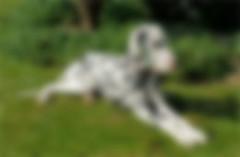 dalmatian-blurred-260x170