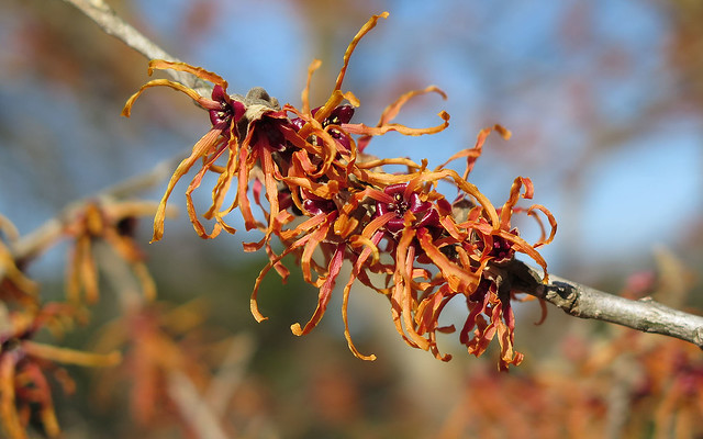Witch Hazel at Raulston Arboretum
