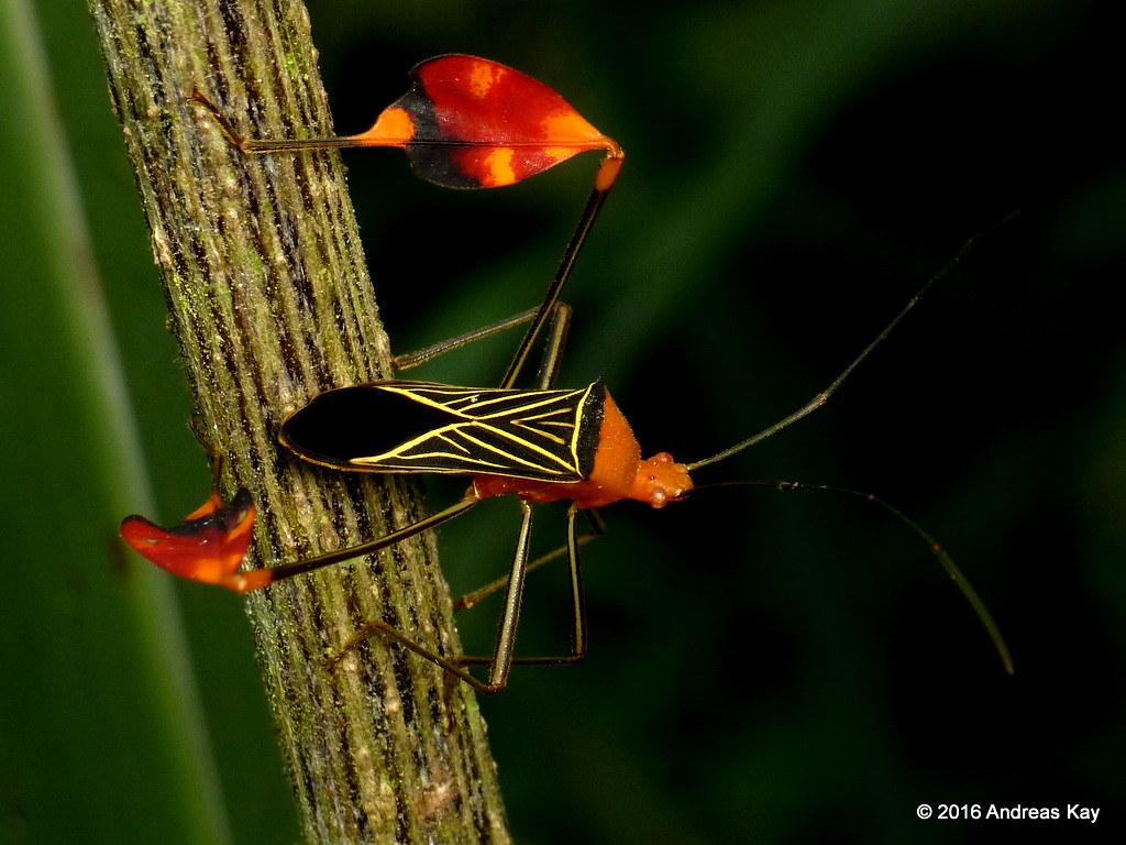 Leaf-footed Bug, Anisoscelis flavolineatus, Coreidae