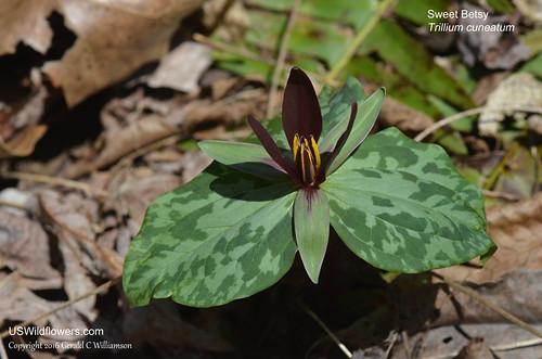 Sweet Betsy - Trillium cuneatum