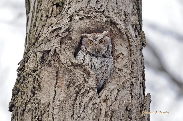 Eastern screech owl - Petit duc maculé - Autillo yanqui - Megascops asio