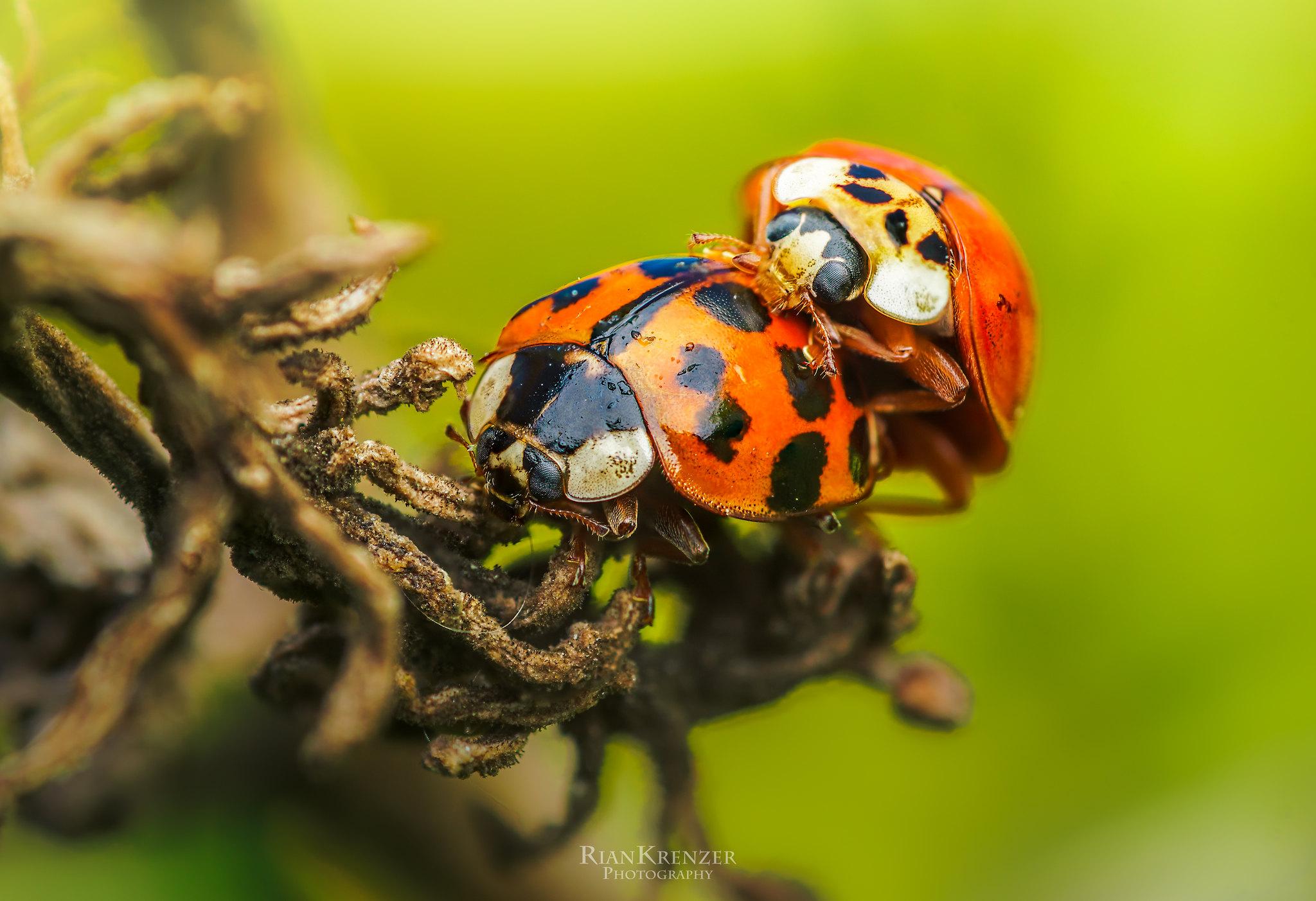 two lovebugs