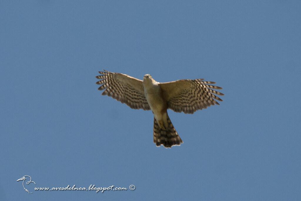 Esparvero común (Rufous-thighed Hawk) Accipiter erythroneimus