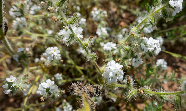 Forget-me-not (Cryptantha cleavelandii)