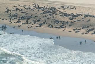 Robbenkolonie am Rand der Namib
