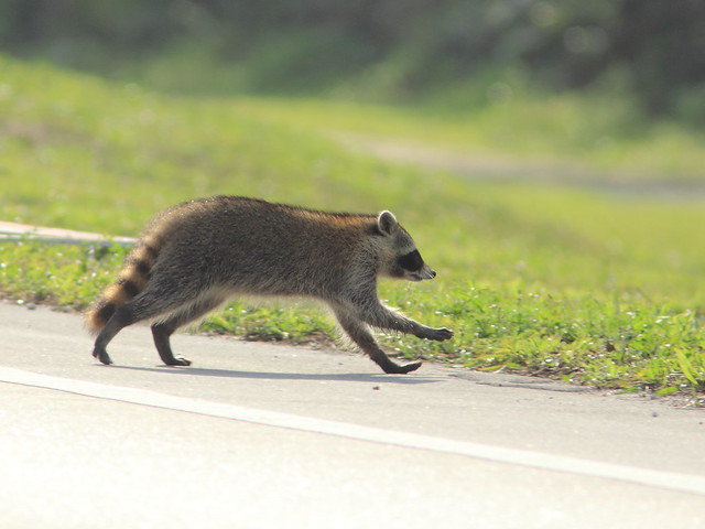 Raccoon straggler crossing Pines 2-20160402
