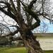 Washington - Huge Crooked Tree