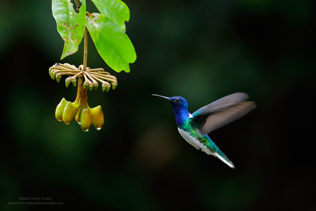 White-necked-Jacobin-and-flower