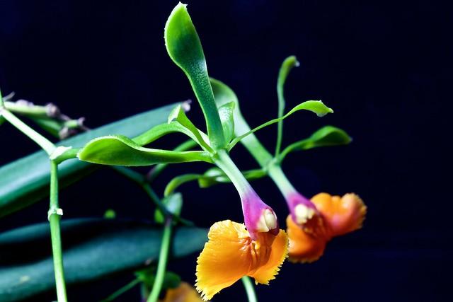 Epidendrum pseudepidendrum 24097963754_76edf94d78_z