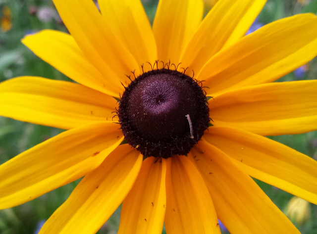 small gray worm crawling down the cone of a black-eyed susan