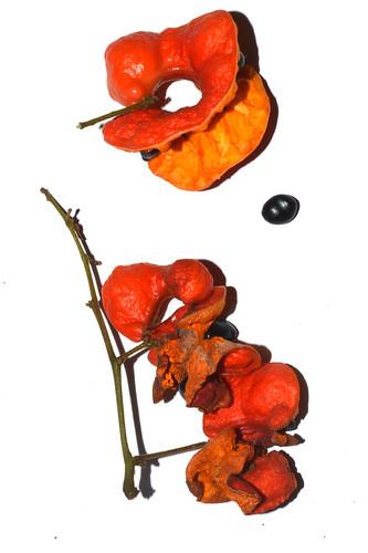 Archidendron hirsutum