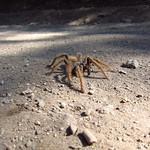 Mo, 30.11.15 - 10:14 - Spinne auf der Strasse